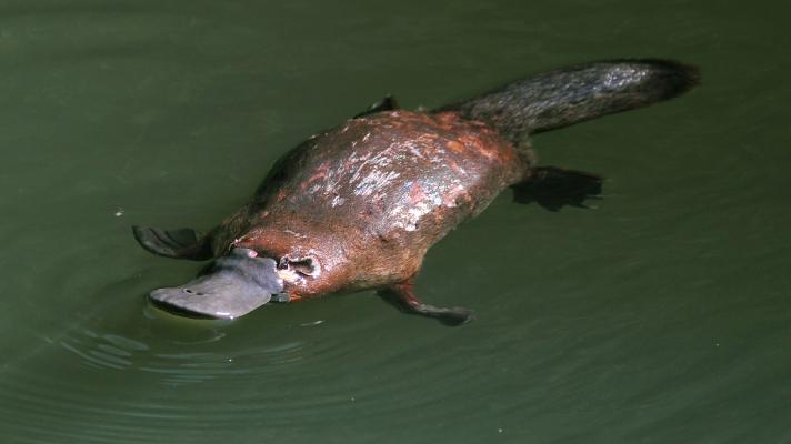 platypus-swimming-closeup